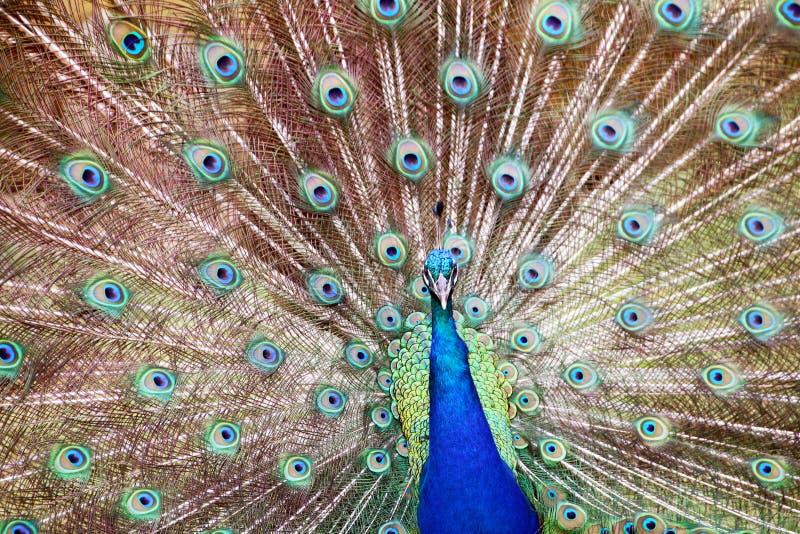 Голубые красочные мужские сделанные по образцу павлины и текстурированный Disp пера стоковое фото
