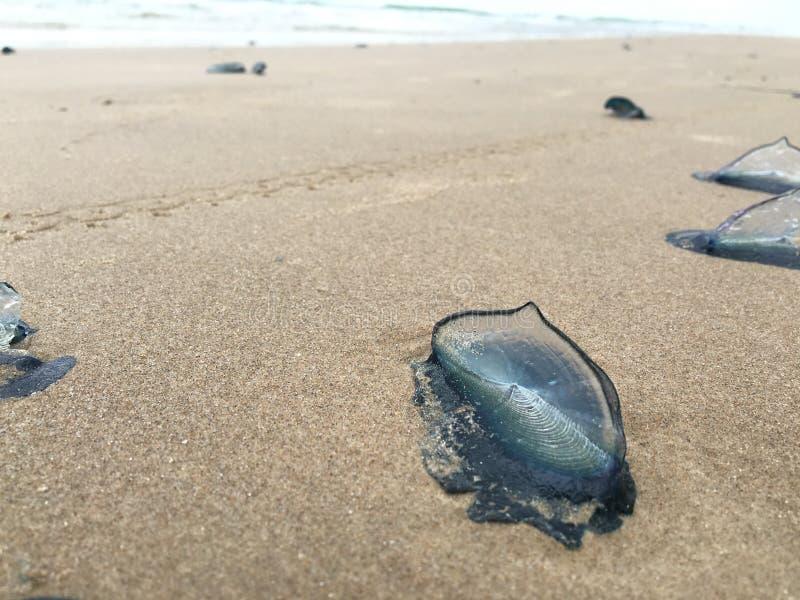 Голубые медузы войны в песке стоковое изображение