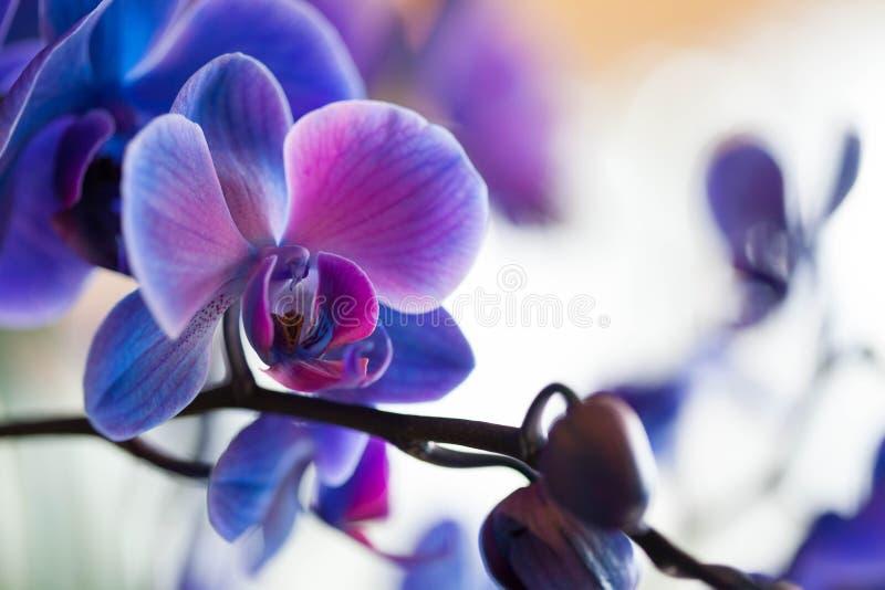 голубые орхидеи стоковые фото