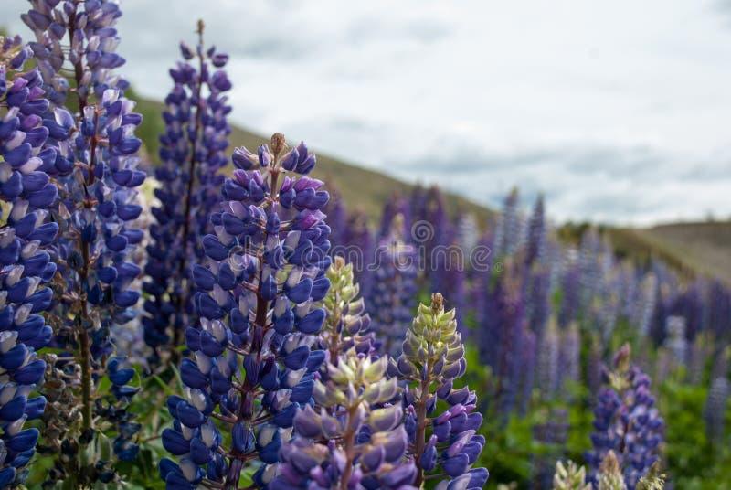 Голубые одичалые lupines (perennis Lupinus) цветут в поле стоковое изображение rf