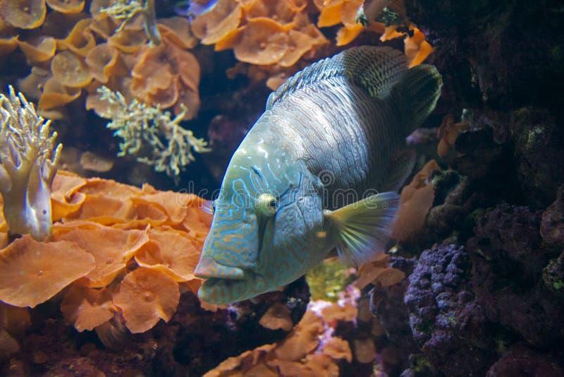 Голубые рыбы в коралле стоковые изображения rf