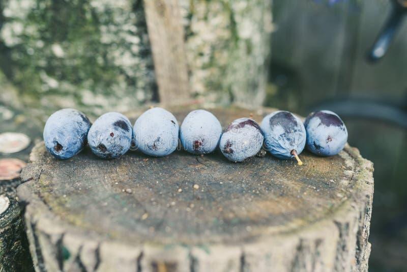 голубые сливы стоковые фотографии rf