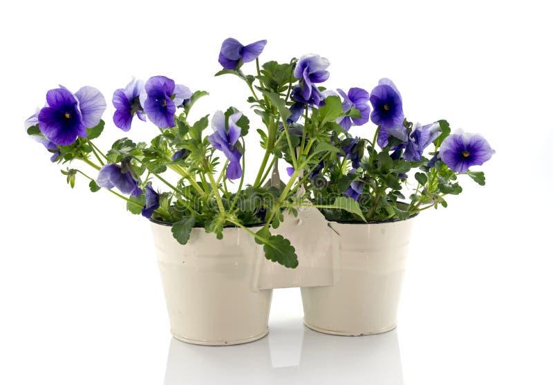 Голубые фиолеты в белых вазах стоковое изображение