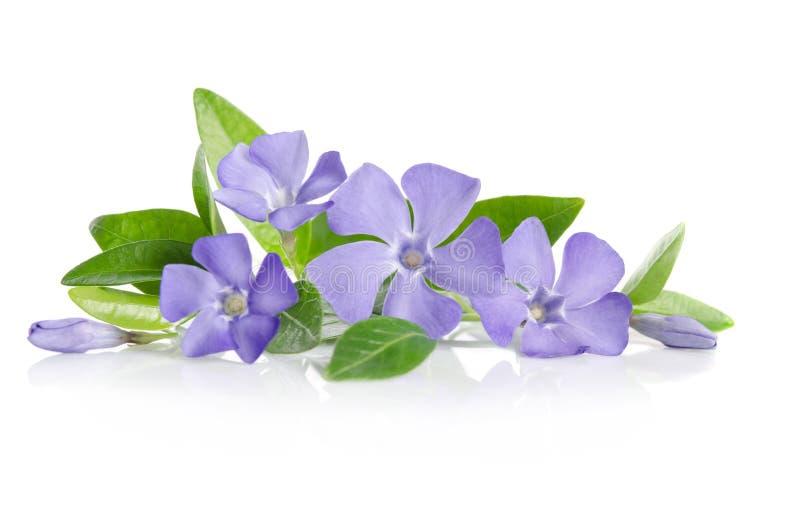 Голубые цветки барвинка стоковое изображение rf