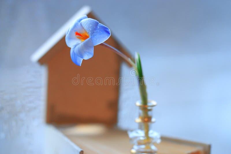 голубые цветки крокуса стоковые изображения rf