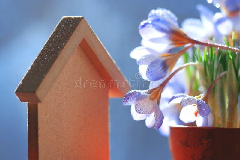 голубые цветки крокуса стоковое фото