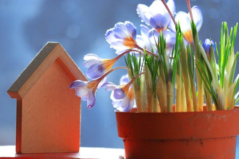 голубые цветки крокуса стоковая фотография