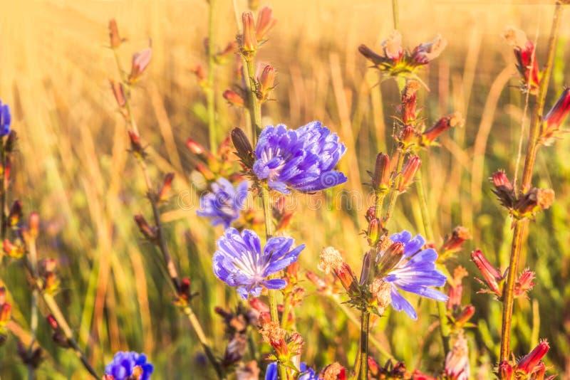 Голубые цветки одичалого цикория в поле в лучах рассвета стоковая фотография