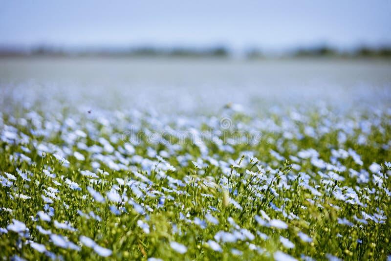 Голубые цветки поля льна стоковая фотография