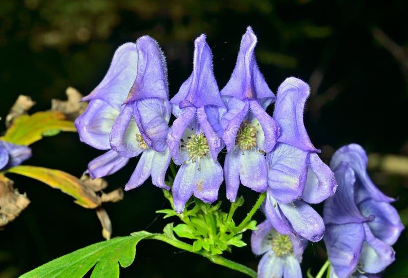 Голубые цветки (taigicola аконита) 1 стоковое фото rf