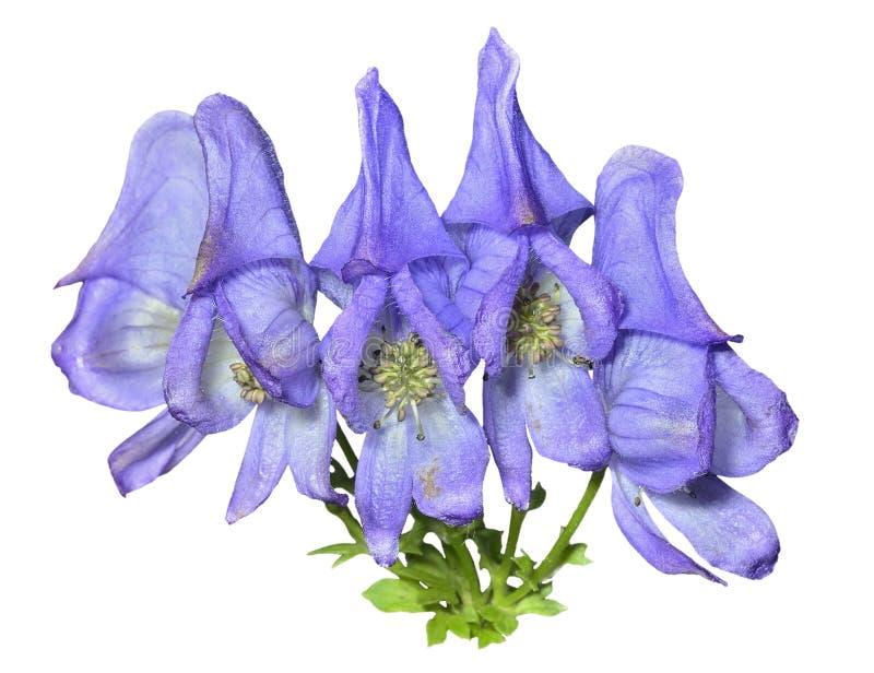 Голубые цветки (taigicola аконита) 5 стоковое фото rf