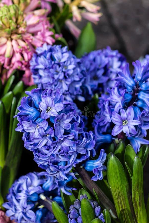 Голубые orientalis Hyacinthus гиацинтов стоковое изображение rf