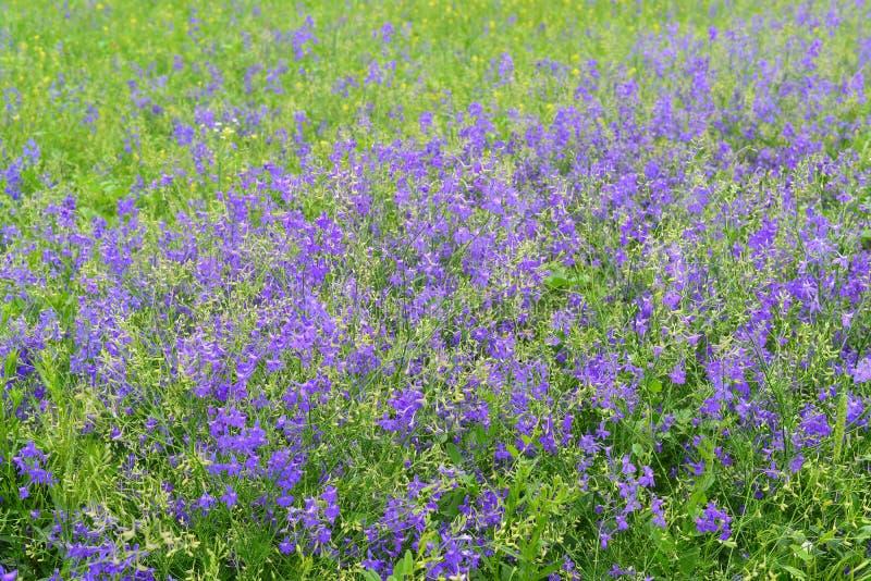 Голубые wildflowers в луге в лете стоковые фото