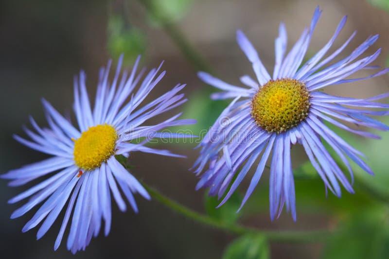 Голубые Wildflowers Fleabane стоковое изображение rf