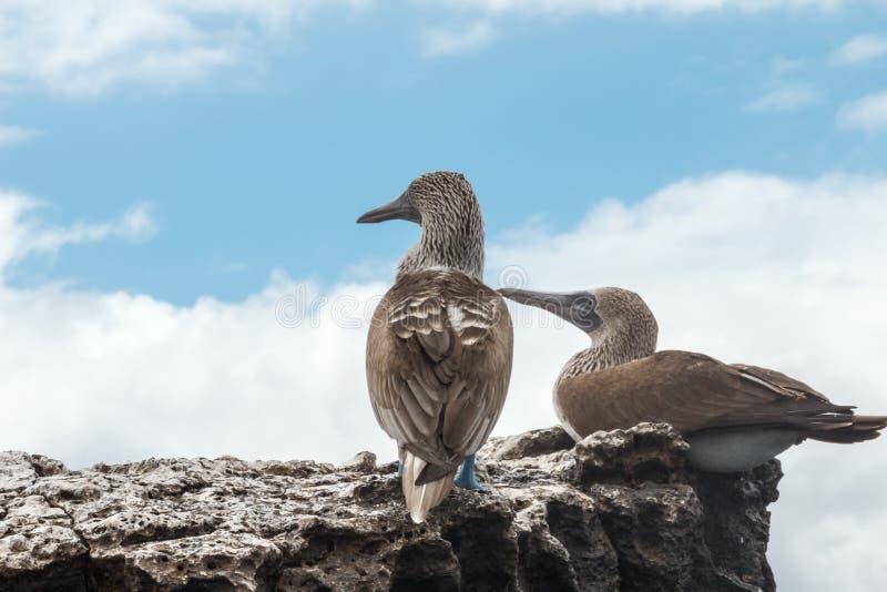 2 голубых footed олуха смотря в безграничность стоковая фотография