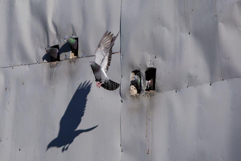 Голубь выходит свой переворот в раннее утро в городке Goreme в зоне Cappadocia Турции стоковые изображения