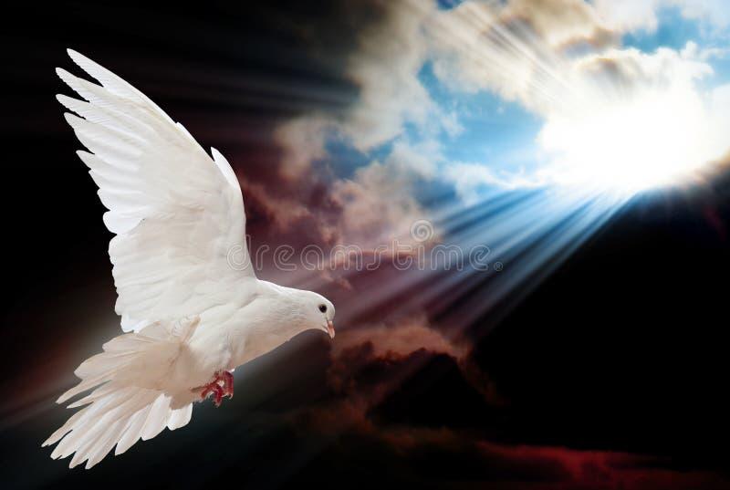 Голубь в воздухе с крылами широкими раскрывает стоковые фотографии rf