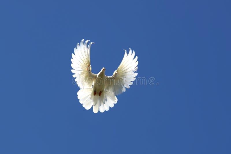 Голубь в воздухе стоковое изображение rf