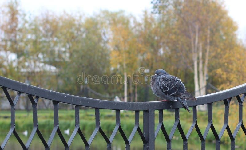 Голубь в парке стоковое изображение rf