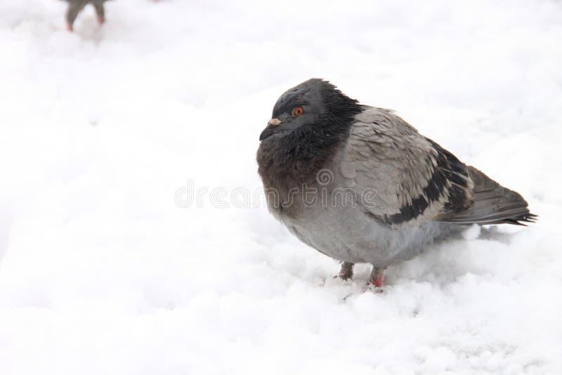 Голубь в снеге стоковые изображения rf