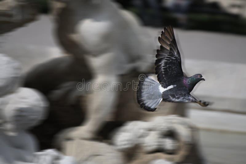 Голубь голодает полет стоковое изображение