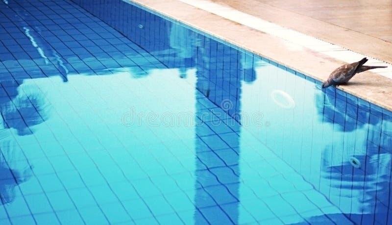 Голубь и бассейн стоковое фото