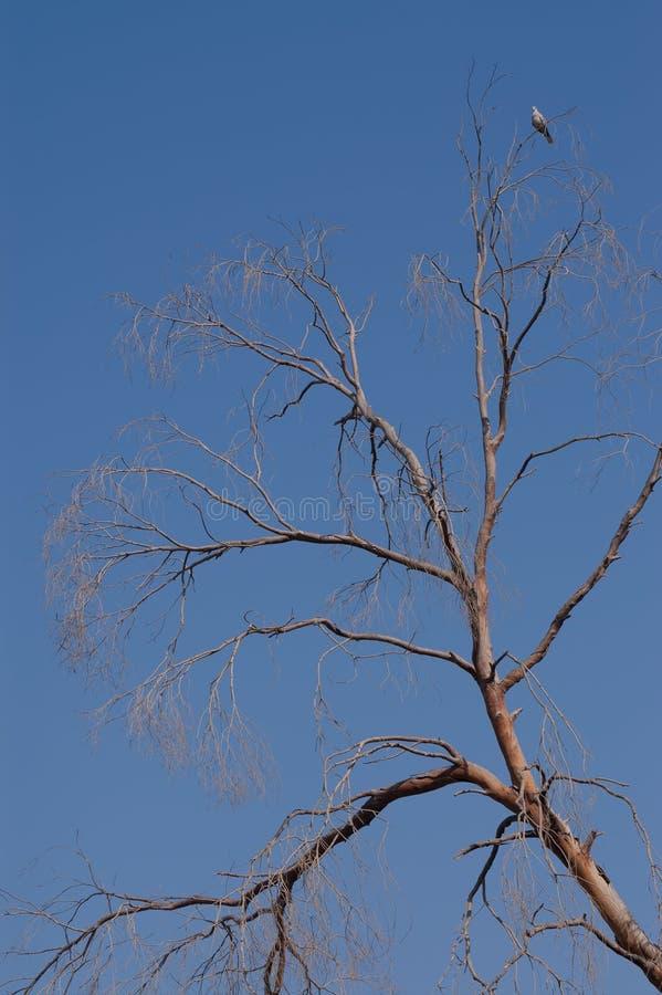 Голубь и сухое дерево стоковое изображение rf