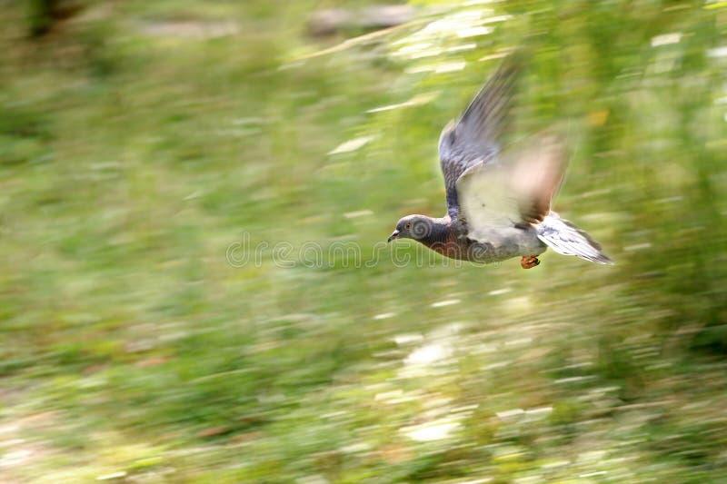 Голубь, одиночная птица в полете стоковая фотография