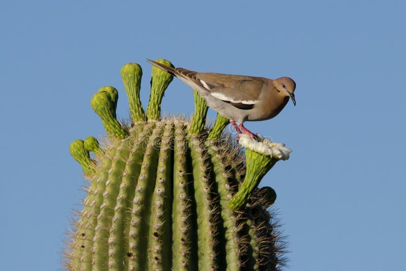 Голубь подогнали белизной, который на Saguaro стоковое фото