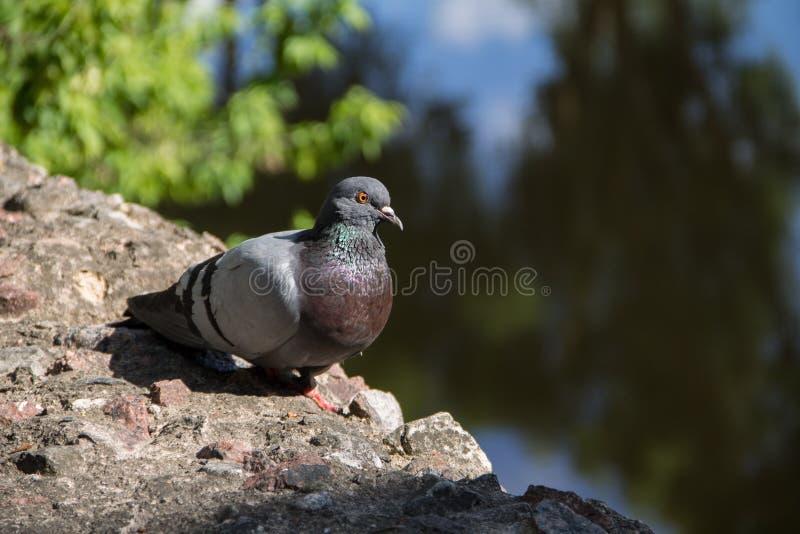 Голубь сидя на каменном близко пруде стоковое фото rf