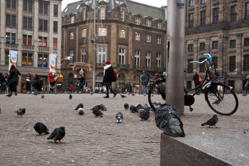 Голубь смотря запруду в Амстердаме стоковая фотография rf