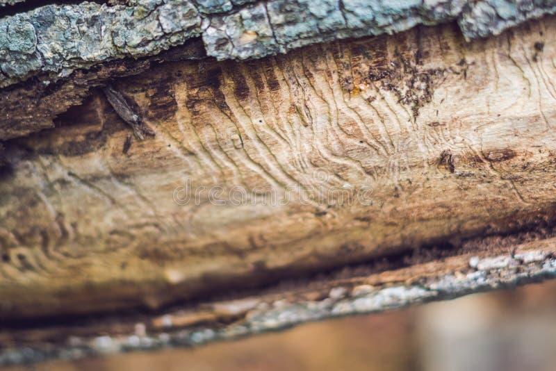 Гравировка галереи жука расшивы на древесине стоковое фото