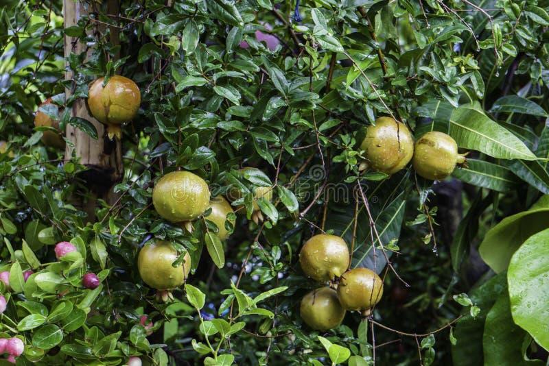 Гранатовое дерево кустарник плод-подшипника лиственный в Lythraceae семьи, subfamily Punicoideae, который растет между 5 и 10 m стоковая фотография rf
