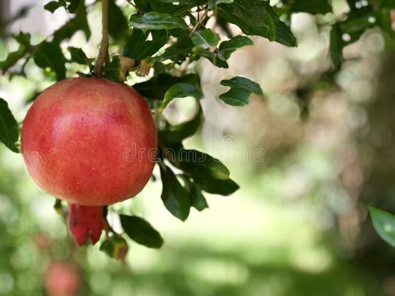 Гранатовое дерево, плодоовощ еврейского Нового Года hashanah Rosh традиционный стоковые изображения
