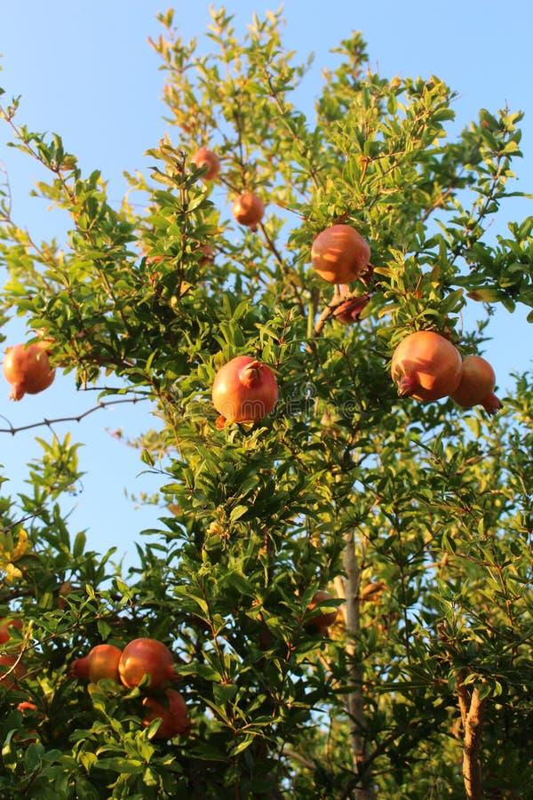 Гранатовое дерево стоковые изображения rf