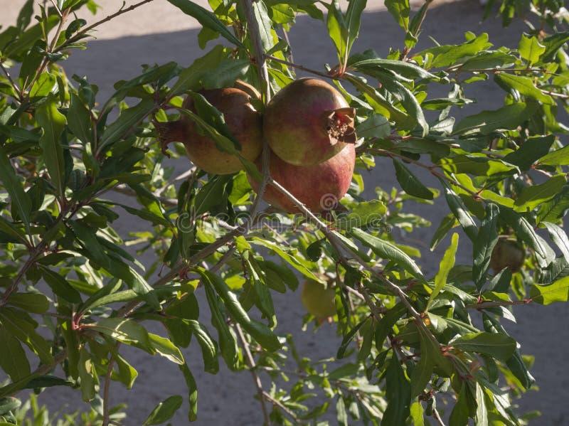 Гранатовые деревья зреют на дереве стоковые фотографии rf