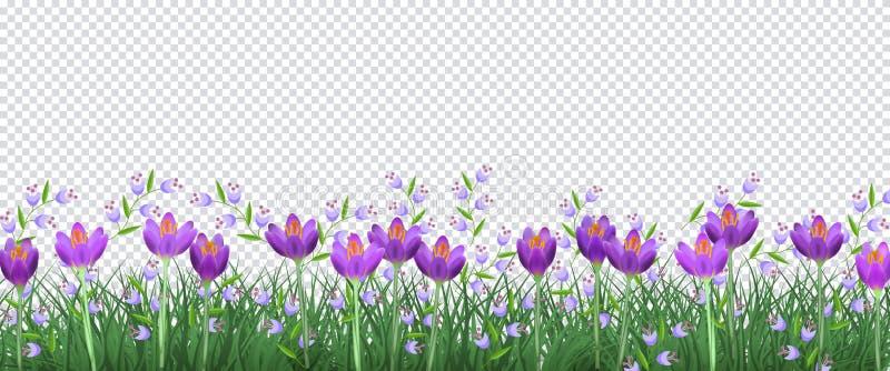 Граница весны флористическая с яркими фиолетовыми крокусами и маленькими голубыми полевыми цветками на зеленой траве на прозрачно бесплатная иллюстрация