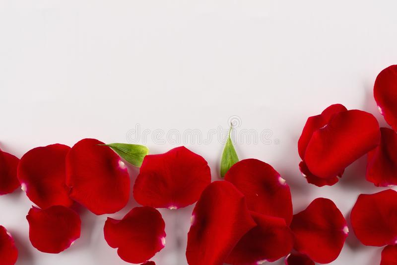 Граница лепестков красной розы бархата на белой предпосылке Взгляд сверху стоковое изображение rf