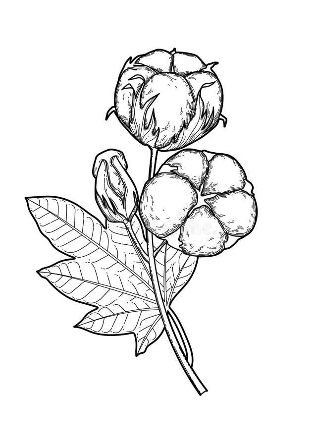 Картинка хлопок растение для детей раскраска