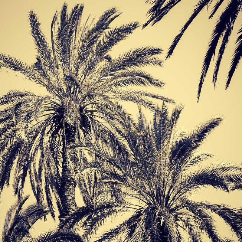 Грациозно финиковые пальмы стоковое фото