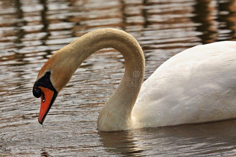 Грациозный безмолвный лебедь ища еды стоковое изображение