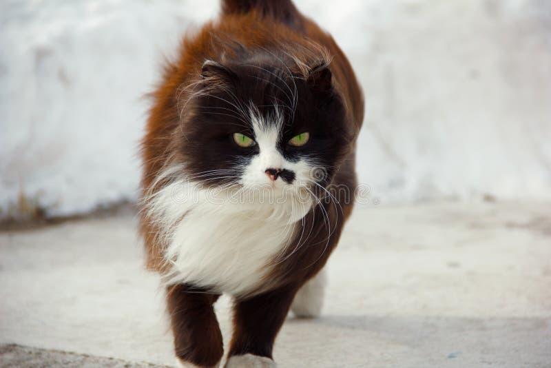 Грациозный кот приходит против фона смещений снега, ветер раздражает ваши волосы Черный кот с белым воротником и серьезным рыльце стоковые изображения