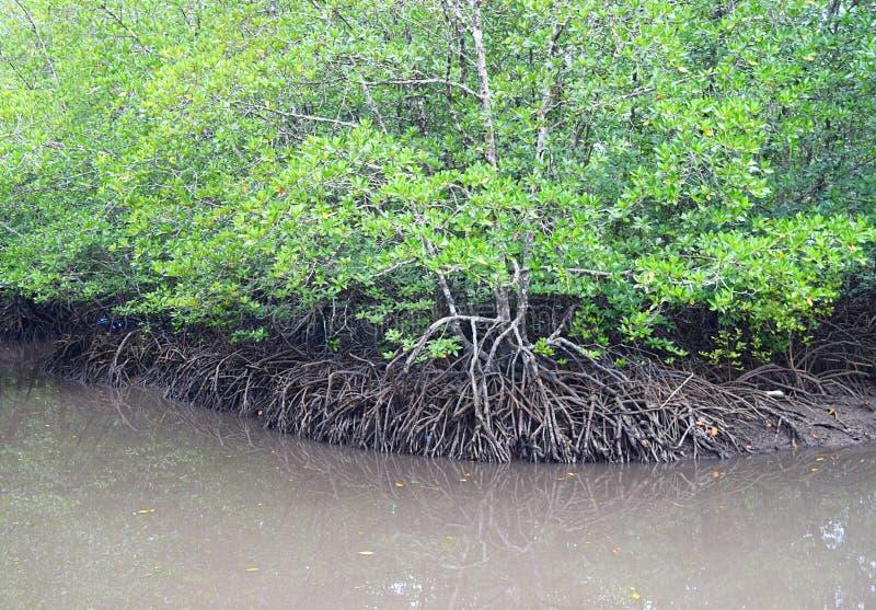 Гребущ через мангровы - красные деревья мангровы - остров Baratang, Andaman Nicobar, Индия стоковое фото rf