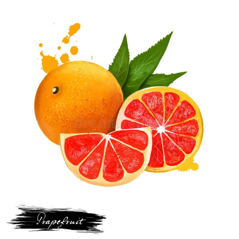 Грейпфрут изолированный на белой предпосылке Цитрус paradisi, розовый грейпфрут, семья рутовые Свежий вкусный полу-сладкий плод к иллюстрация штока