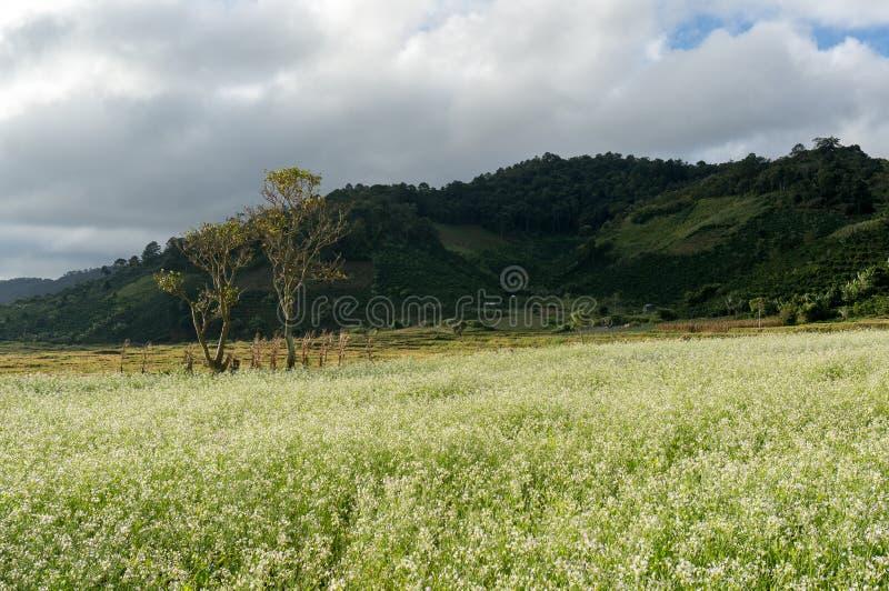 грейте на солнце и деревья и поле мустарда с белым цветком в DonDuong - Dalat- Вьетнаме стоковое изображение