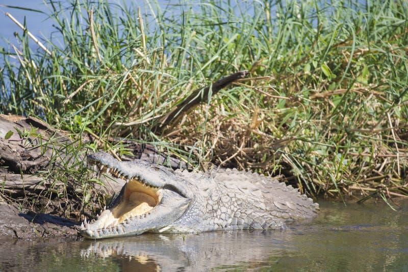 Греться крокодила Нила (niloticus крокодила) стоковая фотография
