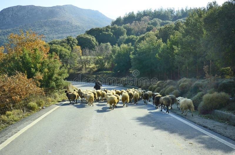 Греция, Крит, овцы стоковая фотография