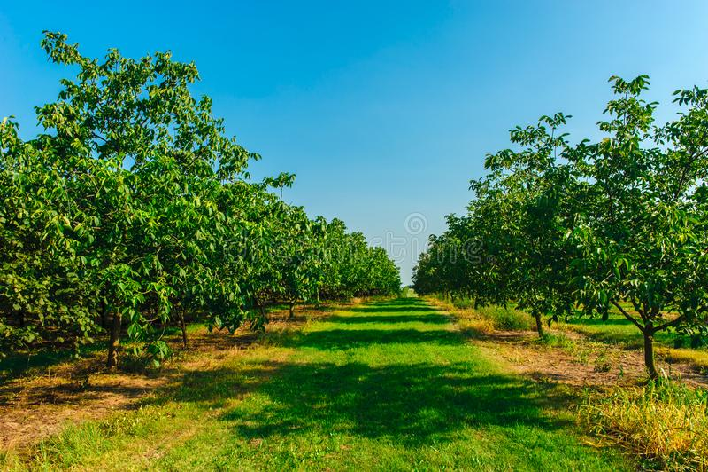Грецкие орехи на плантации стоковые фото
