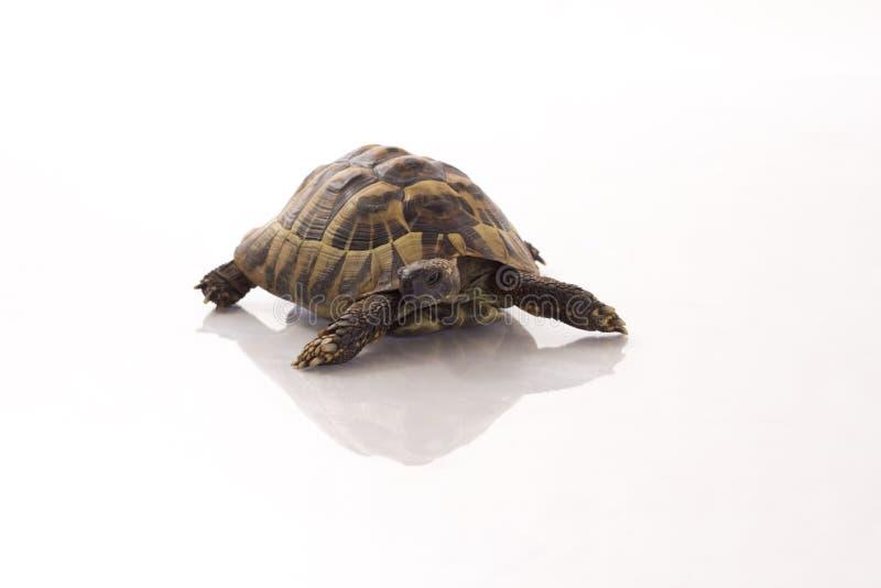 Греческий Testudo Hermanni черепахи земли на сияющем белом поле стоковые изображения rf