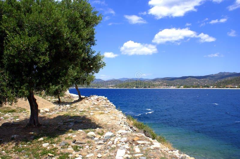 греческое оливковое дерево стоковое изображение